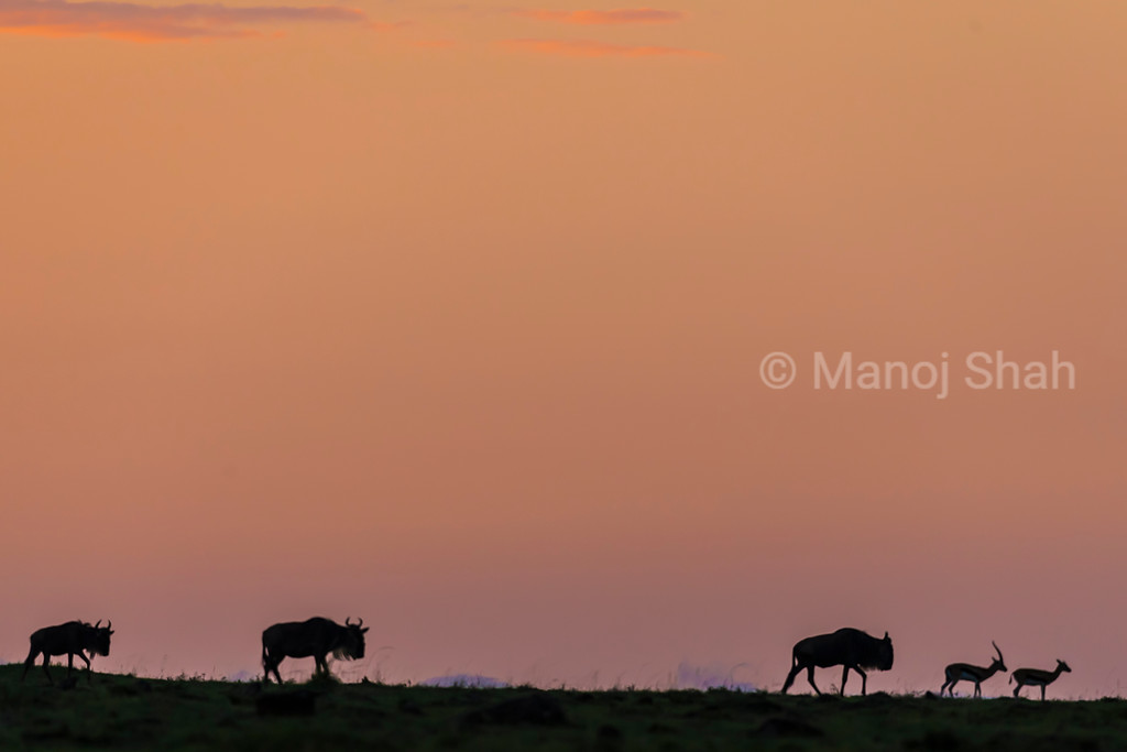 Wildebeest and Thomson's gazelles at sunrise