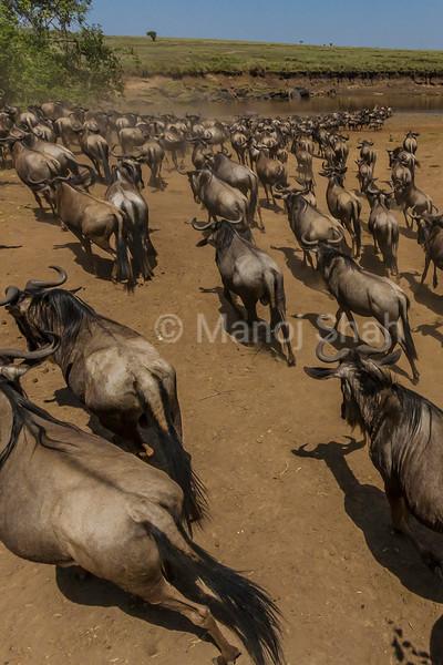 Wildebeest herd heading to cross the Mara River in Masai Mara.