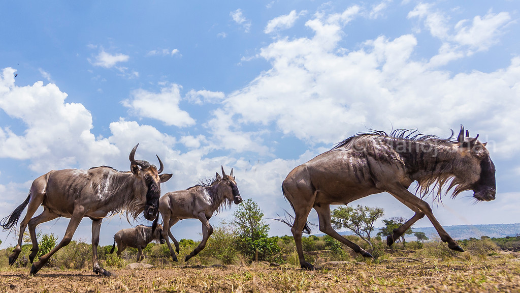 Wildebeest herd on the move to Mara River crossing.