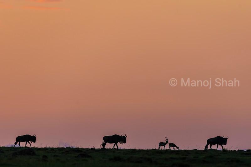 Wildebeest and Thomson's gazelles at sunrise
