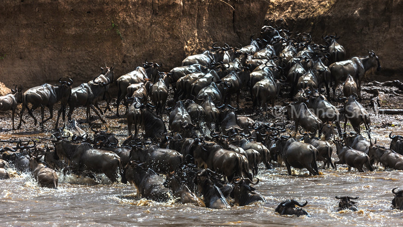 Wildebeest crossing Mara River and exiting.