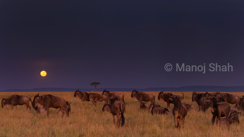 Wildebeest grazing in monlight