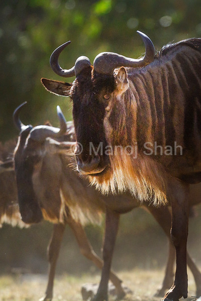 Wildebeest migration at Mara River.