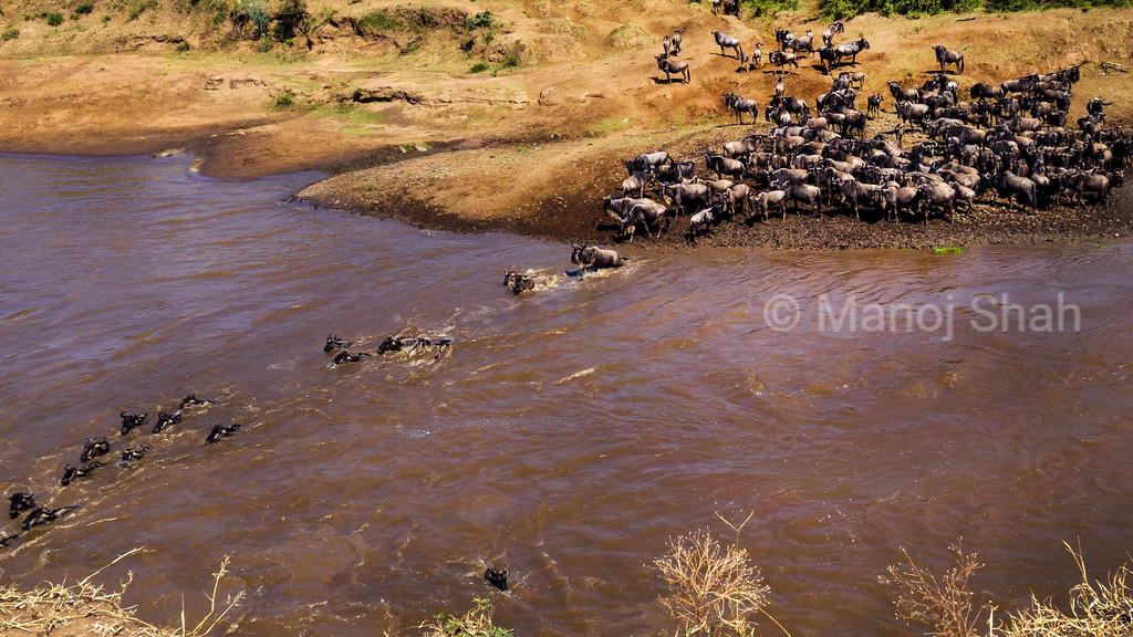 Wildebeest crossing Mara River