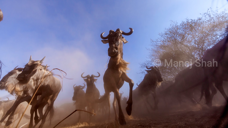 Their mind is made up. Wildebeest running to the Mara River for the crossing.