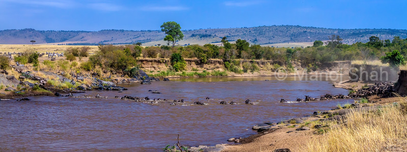 Migrating wildebeest and zebras crossing the river in Masai Mara.