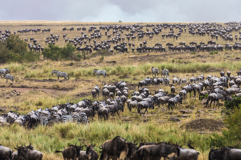 Wildebeest and Zebra as seen on the opposite side after crossing the Mara River.
