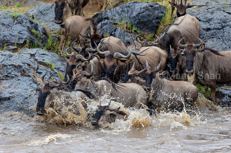 Wildebeest quickly crossing Mara River.