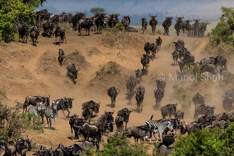 Wildebeest and Zebra migrating downwards to the Mara River bank.