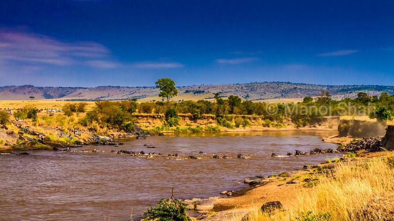 Wildebeest crossing Mara river with Zebras