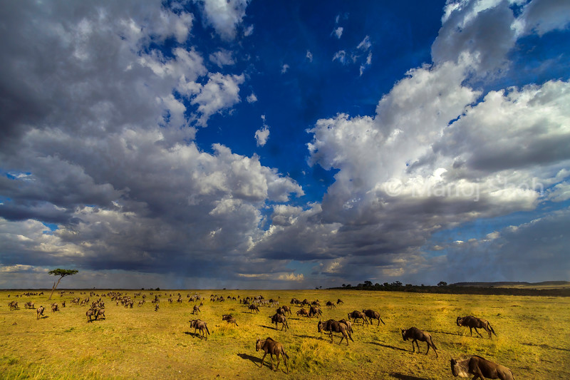 Instictively the wildebeest head towards the direction of the rain in Masai Mara.