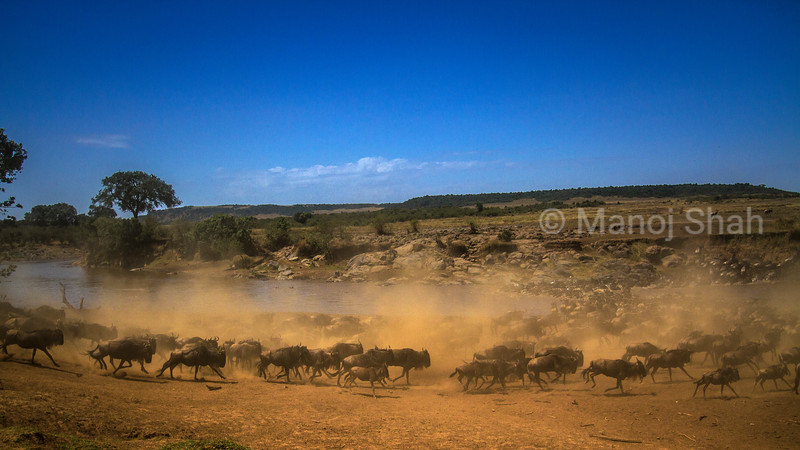 Wildebeest are running to cross to the opposite bank drawing up a lot of dust.