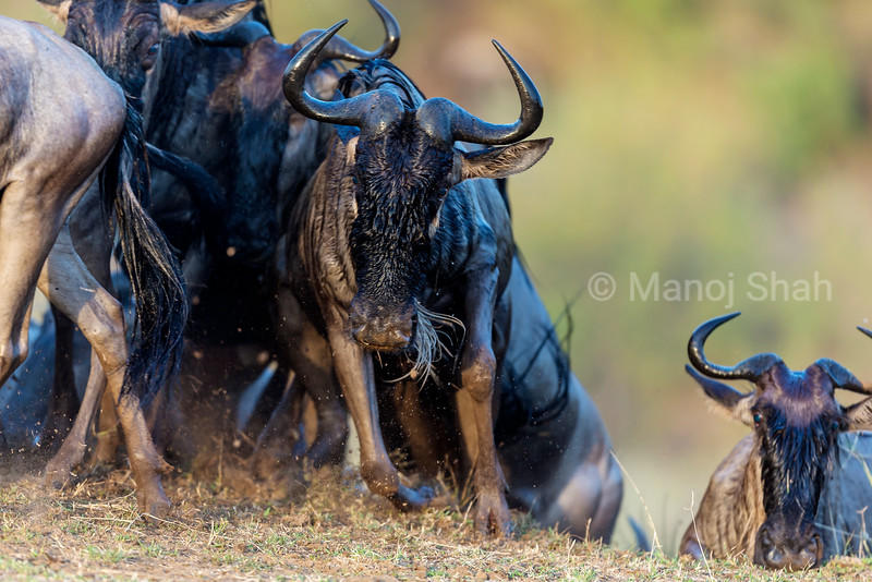 Wildebeest coming out from an exit path after crossing the Mara River.