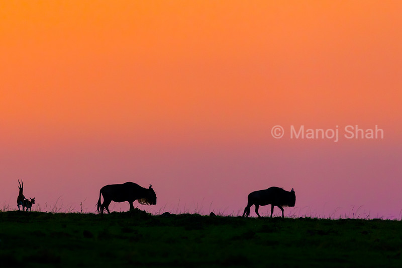 Wildebeest migration at sunrise in Mara passing by impalas mating.