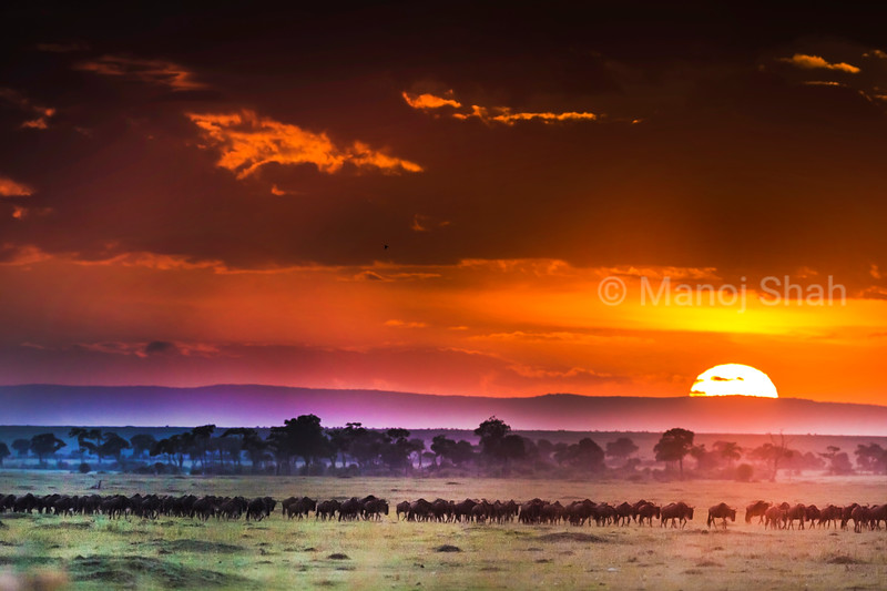 Wildebeest migration at Sunrise