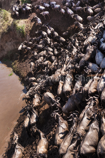 Wildebeest looking for an exit path after crossing the Mara River.