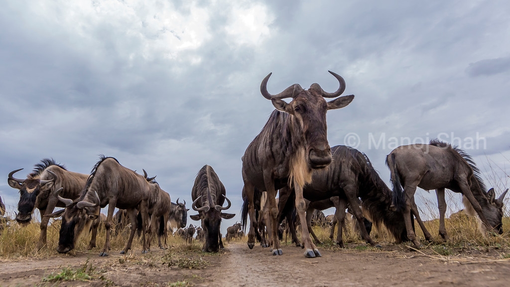 Wildebeest hers using the road to move to the Mara river.