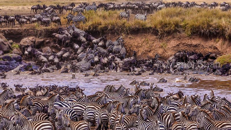 Zebras and wildebeest crossing Mara River in Masai Mara,