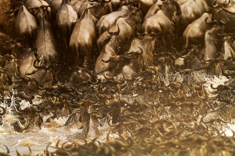 Wildebeest crossing Mara River,