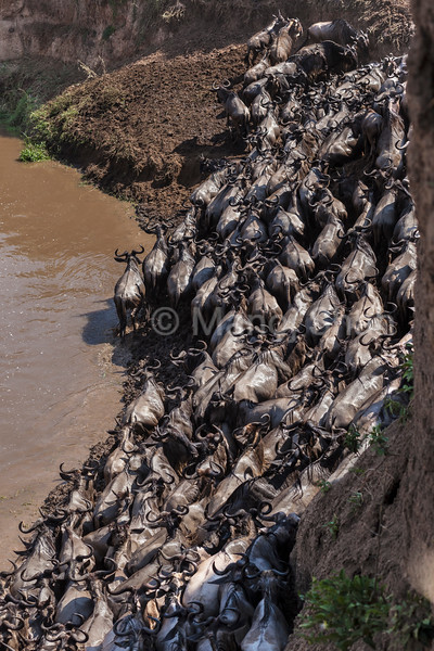 Wildebeest exiting the Mara River after crossing.