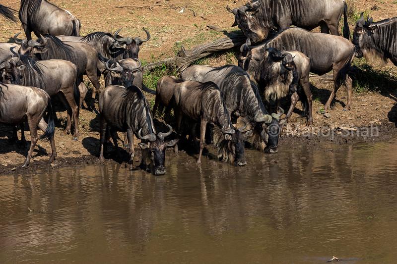 wildebeest drinking water from Mara River.