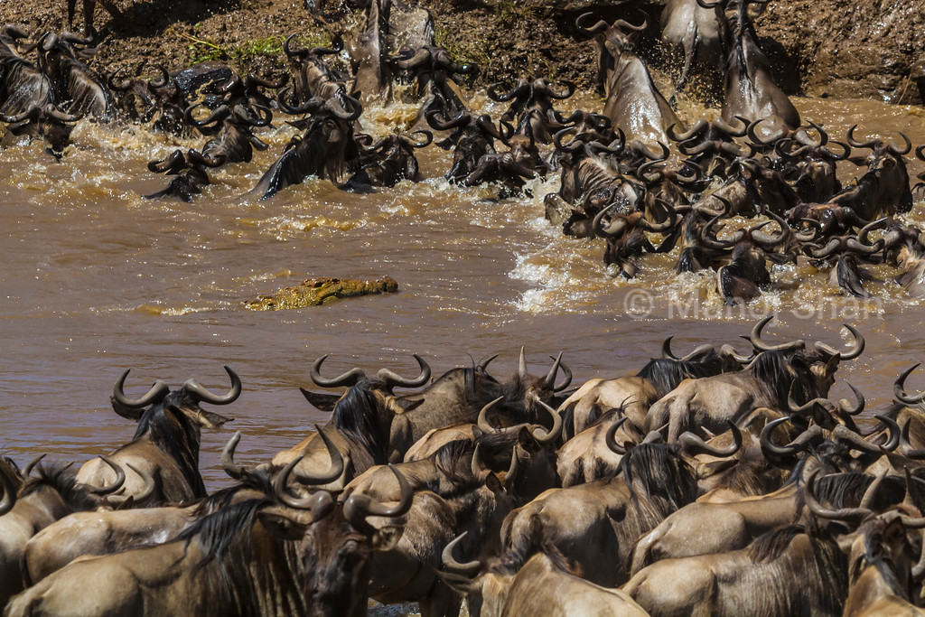 A Nile crocodile emerges from uderwater to find itself surrounded by crossing wildebeest.
