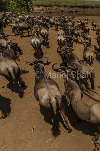 Wildebeest herd heading ti cross the Mara River in Masai Mara.