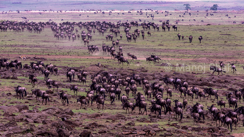 Wildebeest herd on a migratory route.