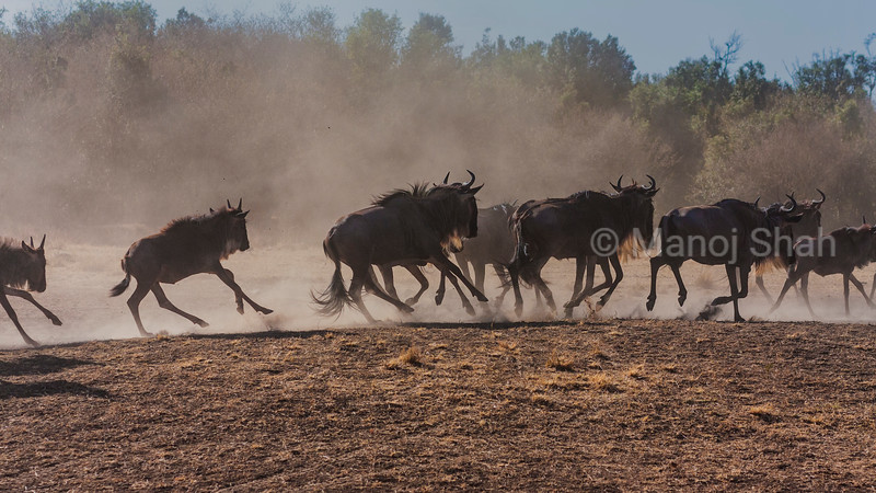 Wildebeest herd running to cross Mara river.