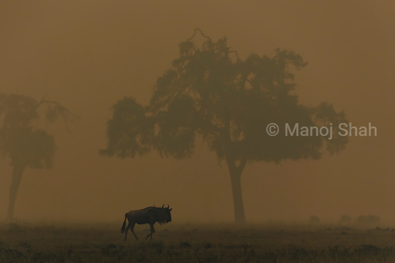 Wildebeest in early foggy morning