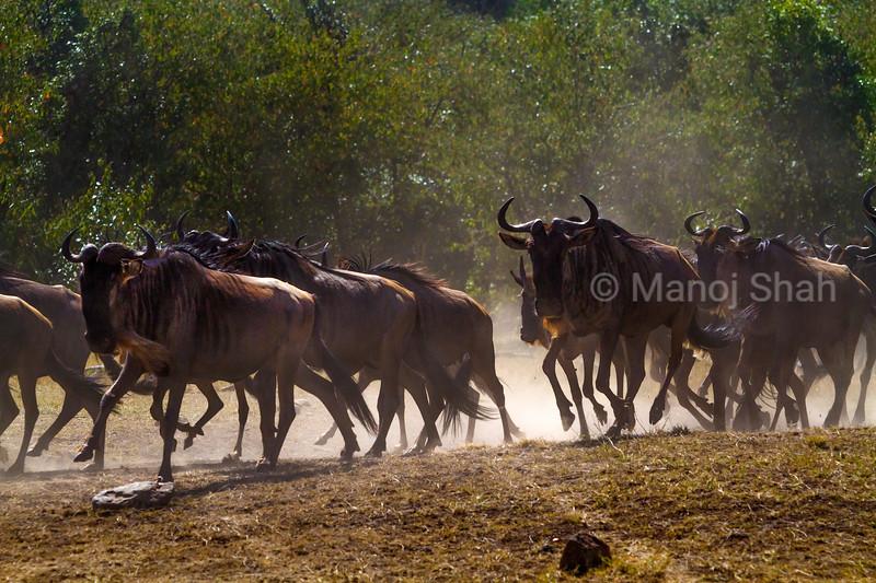 Migrating wildebeest running to cross Mara River.