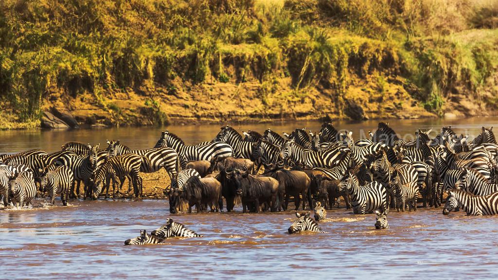 Zebra and wildebeest crossing