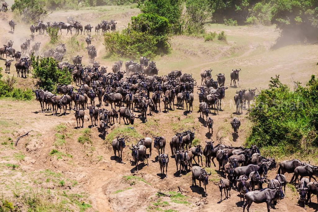 Wildebeest herd going to the crossing