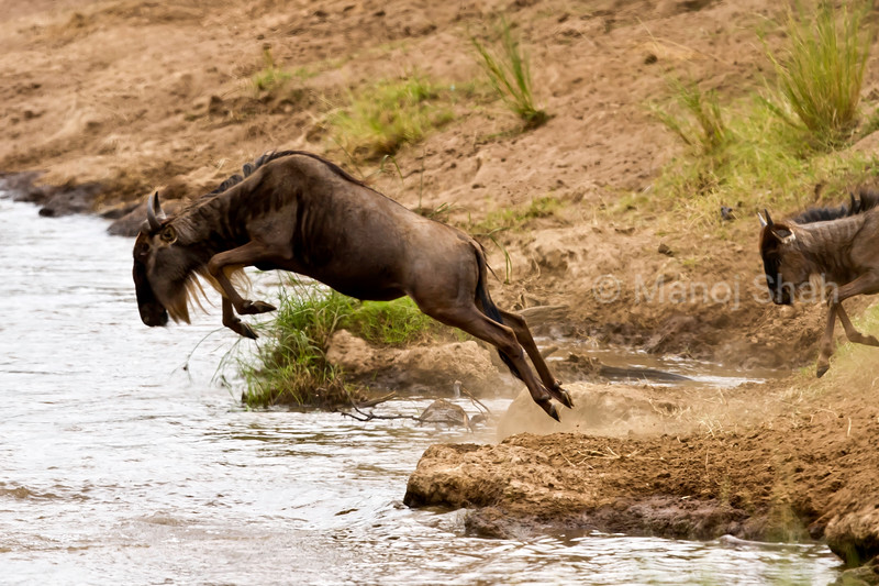 Wildebeest jumping to cross river
