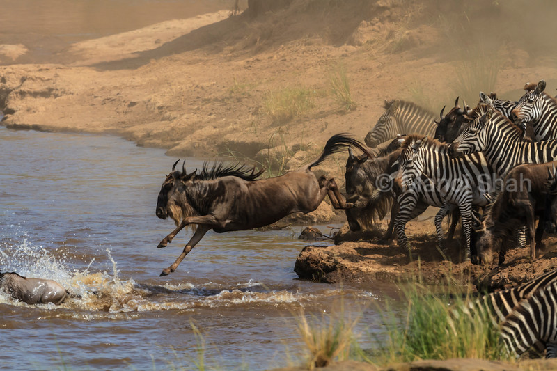 Wildebeest and Zebras juping into Mara River for crossing to the opposite bank.