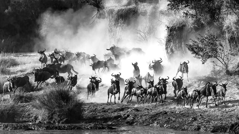 Wildebeest running and creating a dusty environment at Mara River in Masai Mara.