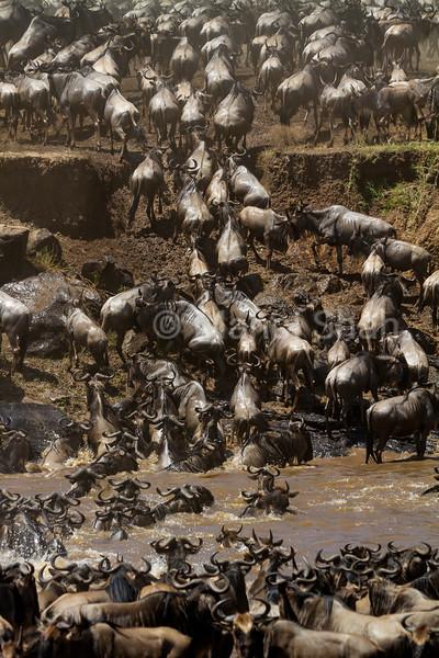 wildebeest crossing Mara River.