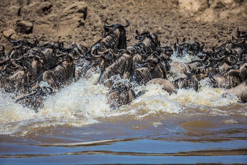 Wildebeests crossing Mara River
