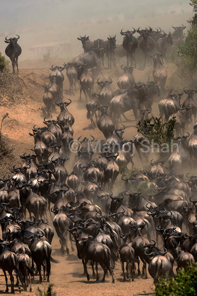 Wildebeest herd coming down to the Mara River to cross to the other side.