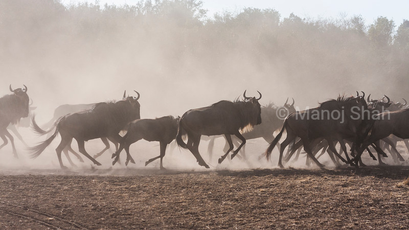 Wildebeest herd running to cross Mara river.
