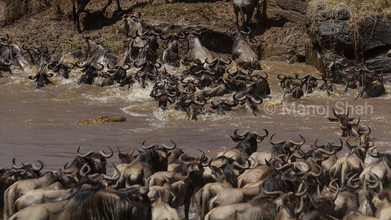 Nile Crocodile approaching wildebeest crossing Mara River.