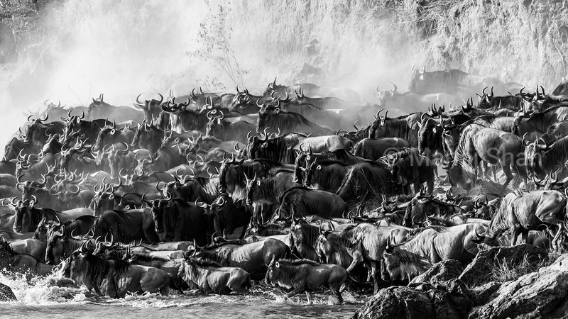 Wildebeest running and crossing, thus creating a dusty environment at Mara River in Masai Mara.