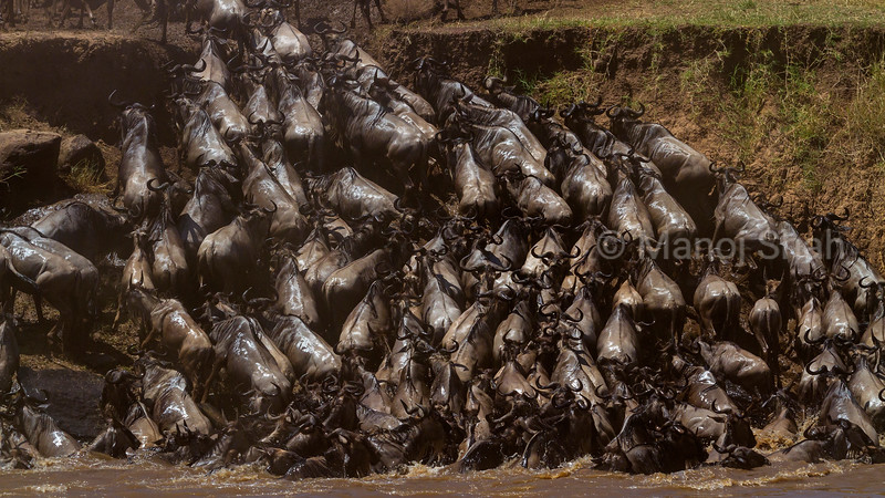 WIildebeest scrambling to climb the river bank after crossing Mara River.