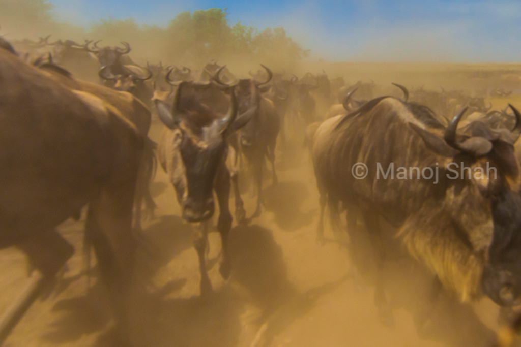 It was dust everywhere. As soon as the wildebeest hooves trampled the hot dry soil, the air became extremely dusty.
