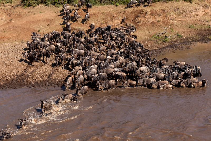 Wildebeest crossing Mara River