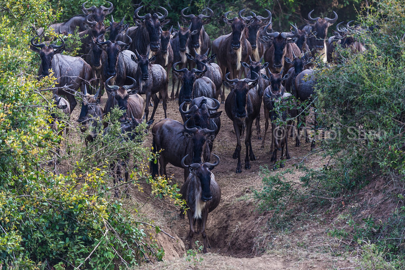 Wildebeest herd going down to Mara River