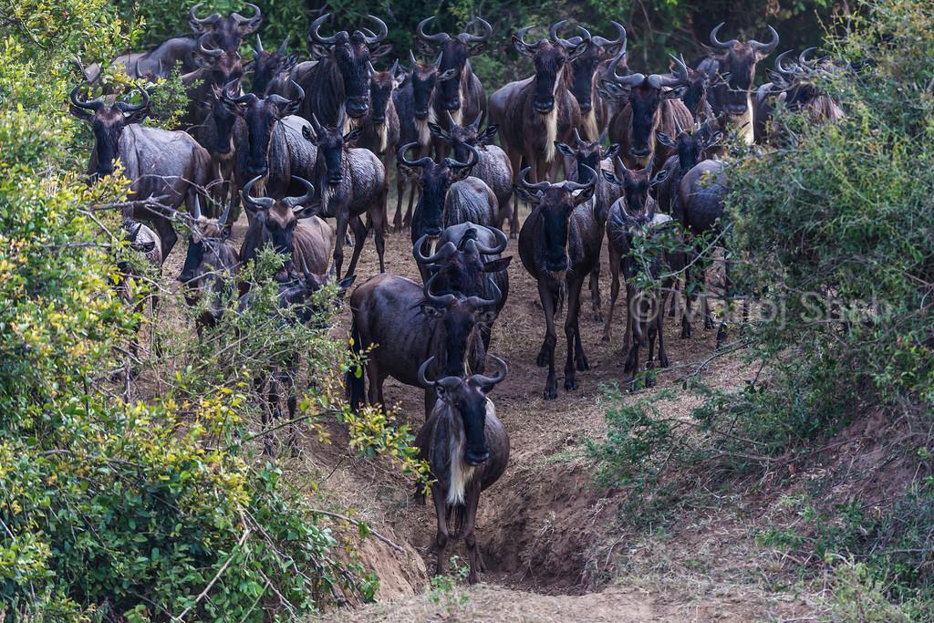 Wildebeest herd going down to Mara River