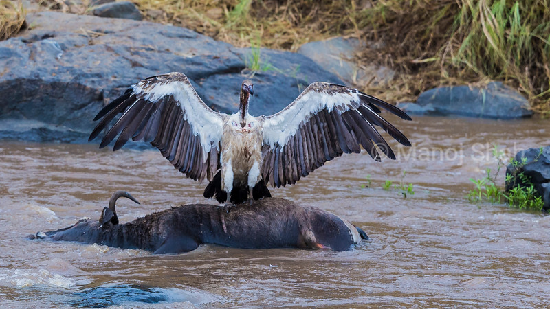 White backed vulture on a dead wildebeest in Mara River.