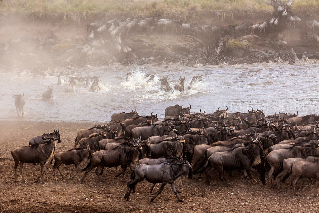 Wildebeest at Crossing point of Mara River.