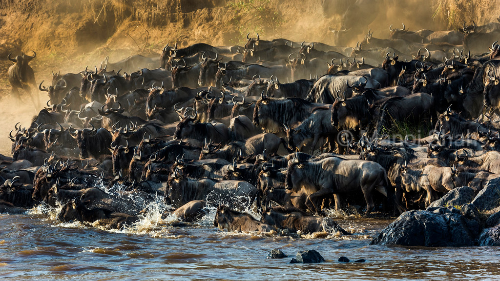 Wildebeest hers crossing Mara River on a hot and dusty day.